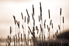 Tall Grass background. Tall grasses on a copper colored day for a background Stock Photos