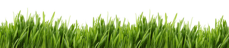 Tall grass banner. A banner of long green grass with a white background