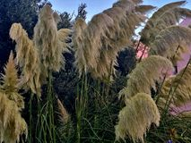 Tall grass with beautiful yellow branches waving in the wind royalty free stock photo