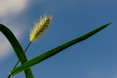Tall grass beginning to seed Royalty Free Stock Photo