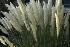 Tall Grass in Bloom Royalty Free Stock Image