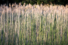 Tall grass blowing in the wind Royalty Free Stock Photos