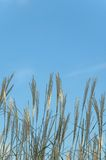 Tall grass and blue sky Stock Image