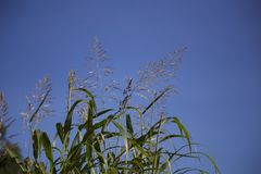 Tall grass Royalty Free Stock Photography