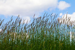 Tall Grass on Blue Sky Background Royalty Free Stock Photo