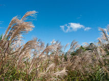 Tall grass on blue sky Royalty Free Stock Photography