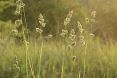 Tall grass at blurred background of green nature Royalty Free Stock Photo