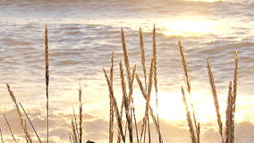 Tall grass by bright beach stock footage