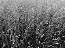 Tall Grass Royalty Free Stock Photo
