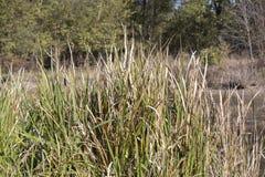 Tall Grass Near Pond royalty free stock photo