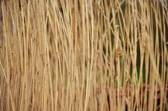 Tall grass. Close up of Tall grass in nature environment Royalty Free Stock Images