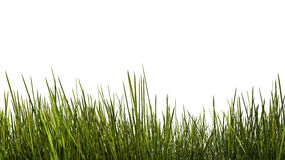 Tall grass close up Royalty Free Stock Photo