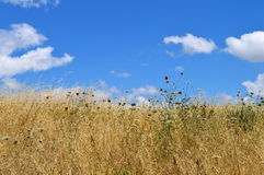 Tall grass and cloudy sky. Photo of a yellow field and blue sky stock photography