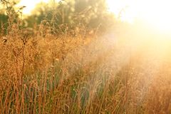 Grass in sepia in sun glare. Sunny rays illuminate grass in meadow royalty free stock photography