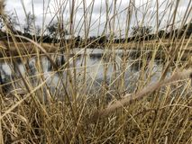 Tall grass covering lake in winter royalty free stock images