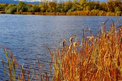 Tall grass on edge of pond in the fall. Tall grass on edge of a pond. You can see trees and mountains in the distance. Everything is in there fall colors Royalty Free Stock Photo