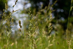 Tall Grass Royalty Free Stock Image