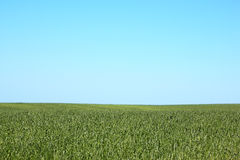 Tall grass field and blue sky Royalty Free Stock Images