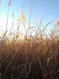 Tall Grass in the Field the Fall. Royalty Free Stock Photos