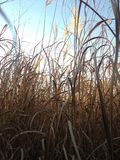 Tall Grass in the Field the Fall. Stock Image