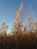 Tall Grass in the Field the Fall. Royalty Free Stock Photo