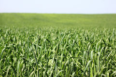 Tall grass field. shallow DOF Royalty Free Stock Image