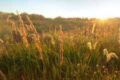 Tall grass in field, sunset, natural background. Tall grass sweeps in field, warm sunlight, natural background Royalty Free Stock Images