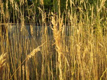 Tall grass. In the garden on a summers day Royalty Free Stock Photo