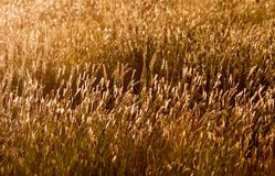 Grasses glowing in golden light. stock image