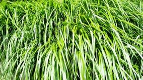 Tall grass. Tall green grass in park Stock Photo