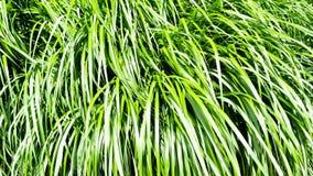 Tall grass. Tall green grass in the park Stock Photos