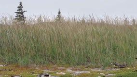 Tall grass in an open field. Tall grass growing in an open field stock video