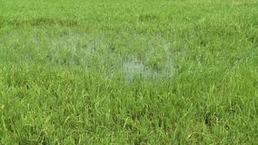 Tall grass growing from a puddle. A hand held, panning, medium shot of tall green grass growing from a puddle stock footage