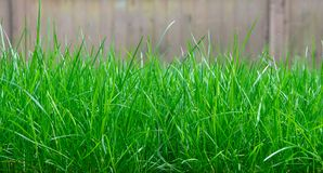 Tall Grass. Grows uncontrolled in a yard Stock Photography