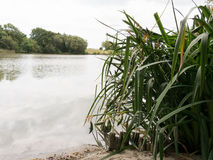 Tall grass on lake coast. Tall grass on the coast and a lake in the background stock photo