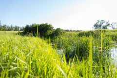 Tall grass on the lake shore with sun Royalty Free Stock Photos