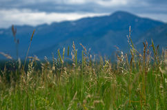 Tall grass meadow with blurred forest, mountains and cloudy sky Stock Image