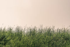 Tall grass on a meadow Stock Image