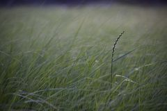 Tall grass in a meadow near a pond royalty free stock image