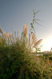 Tall grass near lake in the sunset. Royalty Free Stock Photos