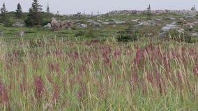 Tall grass in an open field. Tall grass growing in an open field stock video footage