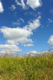 Tall Grass Over Blue Sky and Clouds Royalty Free Stock Photography