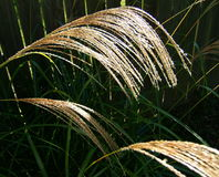 Tall Grass Seed Heads. Bending in the breeze stock photography
