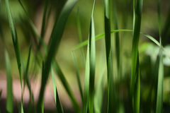 Background with tall grass. A series of abstract images of tall grass. Some grass blades are completely blurred with only a small sharp blade Royalty Free Stock Photo