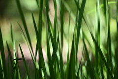 Background with tall grass. A series of abstract images of tall grass. Some grass blades are completely blurred with only a small sharp blade Stock Photo