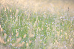 Tall grass in summer sunshine. Detail royalty free stock photography