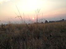 Tall grass at sun down Royalty Free Stock Photo