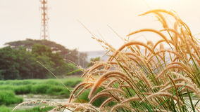 The tall grass with sun light Royalty Free Stock Photo