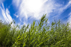 Tall grass. In the sunlight Stock Image
