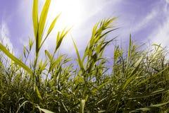 Tall grass. In the sunlight Stock Photos